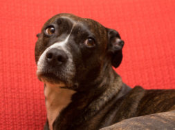 l_american_staffordshire_terrier