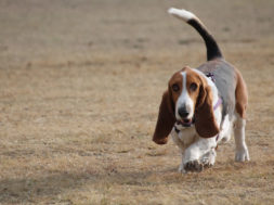 bassett_hound_in_clinica